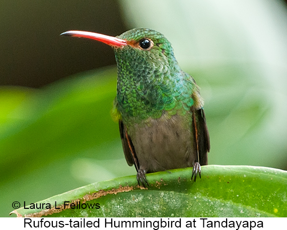 Rufous-tailed Hummingbird - © Laura L Fellows and Exotic Birding Tours