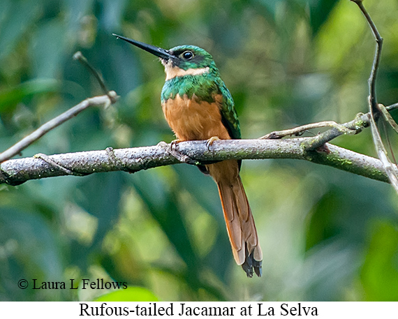 Rufous-tailed Jacamar - © Laura L Fellows and Exotic Birding Tours