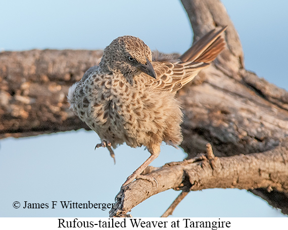 Rufous-tailed Weaver - © James F Wittenberger and Exotic Birding LLC