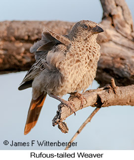 Rufous-tailed Weaver - © James F Wittenberger and Exotic Birding Tours