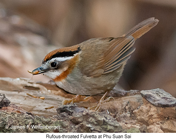 Rufous-throated Fulvetta - © James F Wittenberger and Exotic Birding Tours