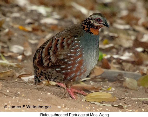 Rufous-throated Partridge - © James F Wittenberger and Exotic Birding Tours
