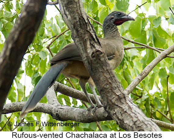 Rufous-vented Chachalaca - © James F Wittenberger and Exotic Birding LLC
