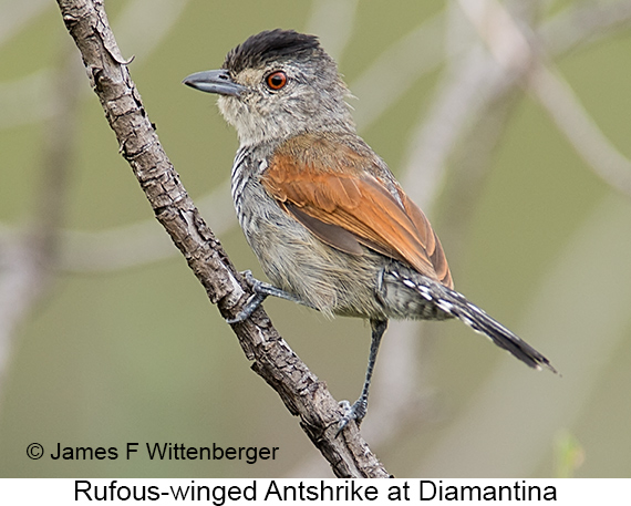 Rufous-winged Antshrike - © James F Wittenberger and Exotic Birding LLC