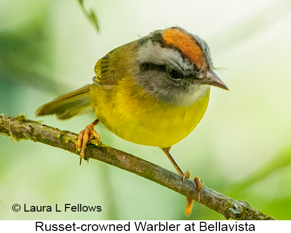 Russet-crowned Warbler - © Laura L Fellows and Exotic Birding Tours