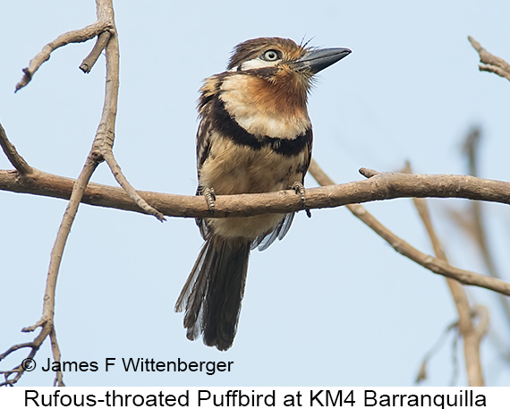Russet-throated Puffbird - © James F Wittenberger and Exotic Birding LLC