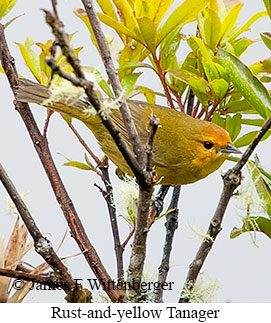 Rust-and-yellow Tanager - © James F Wittenberger and Exotic Birding Tours
