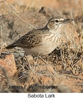 Sabota Lark - © James F Wittenberger and Exotic Birding LLC