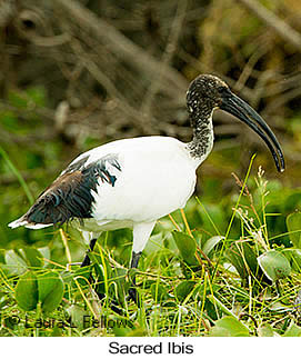 Sacred Ibis - © Laura L Fellows and Exotic Birding Tours