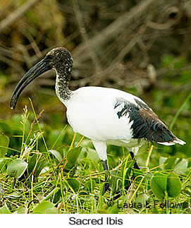 Sacred Ibis - © Laura L Fellows and Exotic Birding LLC