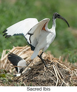 Sacred Ibis - © James F Wittenberger and Exotic Birding LLC
