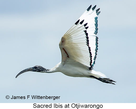 Sacred Ibis - © The Photographer and Exotic Birding LLC