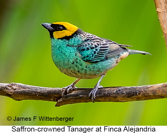 Saffron-crowned Tanager - © The Photographer and Exotic Birding LLC