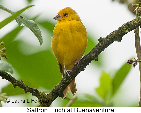 Saffron Finch - © Laura L Fellows and Exotic Birding Tours