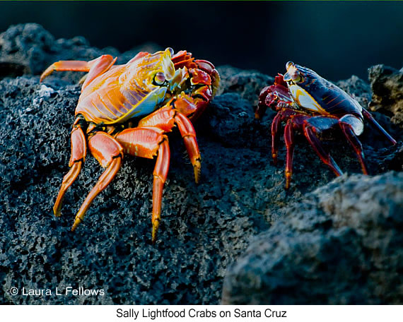 Sally-lightfoot Crab - © Laura L Fellows and Exotic Birding Tours