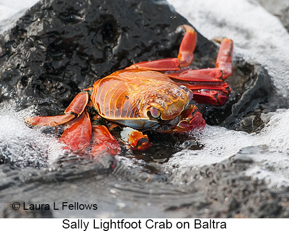 Sally-lightfoot Crab - © The Photographer and Exotic Birding LLC