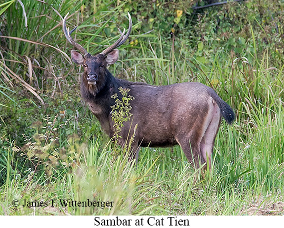 Sambar - © The Photographer and Exotic Birding LLC
