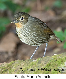 Santa Marta Antpitta - © James F Wittenberger and Exotic Birding LLC
