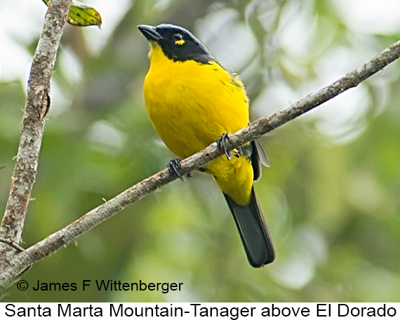 Black-cheeked Mountain-Tanager - © James F Wittenberger and Exotic Birding LLC