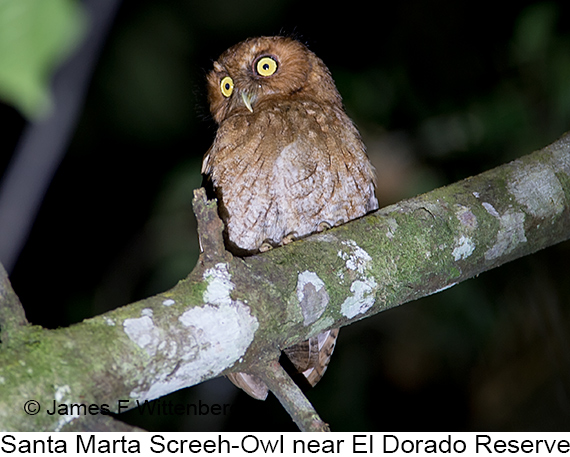 Santa Marta Screech-Owl - © James F Wittenberger and Exotic Birding LLC