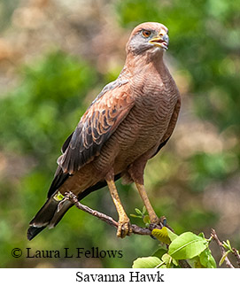 Savanna Hawk - © Laura L Fellows and Exotic Birding LLC