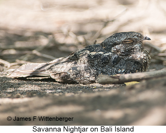 Savanna Nightjar - © James F Wittenberger and Exotic Birding LLC