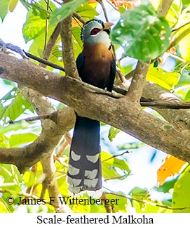 Scale-feathered Malkoha - © James F Wittenberger and Exotic Birding LLC