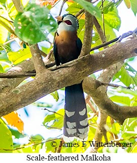 Scale-feathered Malkoha - © James F Wittenberger and Exotic Birding Tours