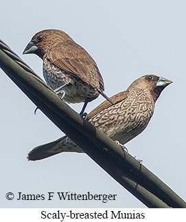 Scaly-breasted Munia - © James F Wittenberger and Exotic Birding Tours