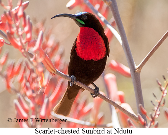 Scarlet-chested Sunbird - © James F Wittenberger and Exotic Birding LLC
