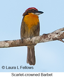 Scarlet-crowned Barbet - © Laura L Fellows and Exotic Birding LLC