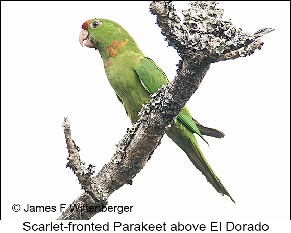 Scarlet-fronted Parakeet - © The Photographer and Exotic Birding LLC
