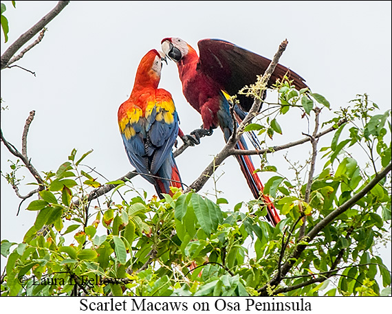 Scarlet Macaw - © Laura L Fellows and Exotic Birding Tours
