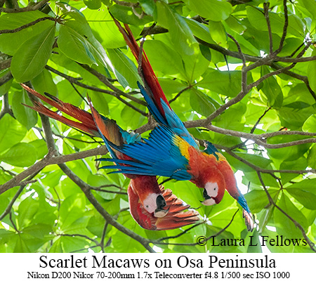 Scarlet Macaws - © Laura L Fellows and Exotic Birding Tours