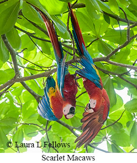 Scarlet Macaw - © Laura L Fellows and Exotic Birding LLC