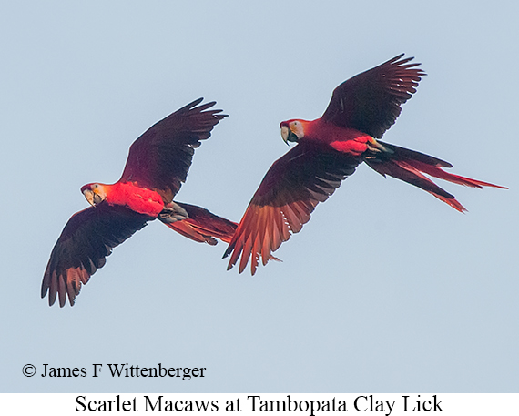 Scarlet Macaw - © James F Wittenberger and Exotic Birding Tours