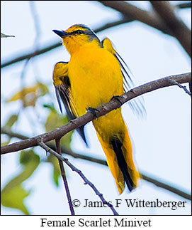 Scarlet Minivet - © James F Wittenberger and Exotic Birding Tours