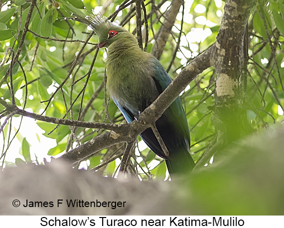 Schalow's Turaco - © James F Wittenberger and Exotic Birding LLC