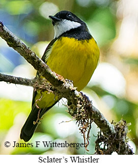 Sclater's Whistler - © James F Wittenberger and Exotic Birding Tours