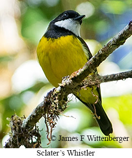 Sclater's Whistler - © James F Wittenberger and Exotic Birding LLC
