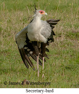 Secretary Bird - © James F Wittenberger and Exotic Birding Tours