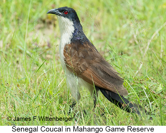 Senegal Coucal - © James F Wittenberger and Exotic Birding LLC