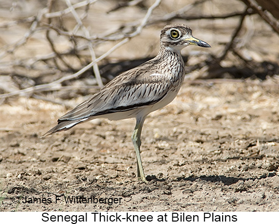 Senegal Thick-knee - © James F Wittenberger and Exotic Birding LLC