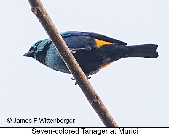 Seven-colored Tanager - © The Photographer and Exotic Birding LLC