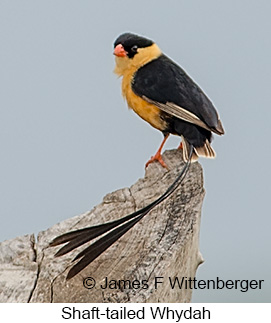 Shaft-tailed Whydah - © James F Wittenberger and Exotic Birding LLC