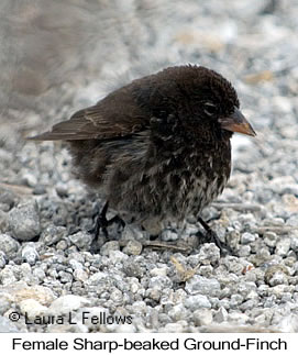 Sharp-beaked Ground-Finch - © Laura L Fellows and Exotic Birding LLC