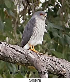 Shikra - © James F Wittenberger and Exotic Birding LLC