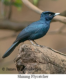 Shining Flycatcher - © James F Wittenberger and Exotic Birding LLC