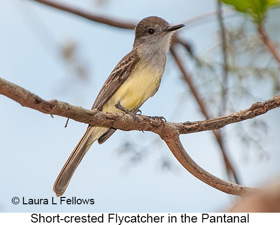 Short-crested Flycatcher - © Laura L Fellows and Exotic Birding LLC