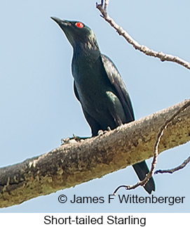 Short-tailed Starling - © James F Wittenberger and Exotic Birding Tours